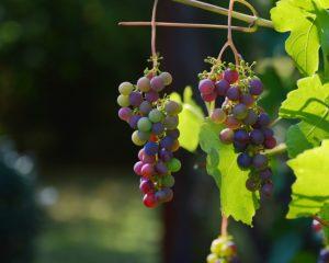 Antioxidáns szőlőmagolaj immunerősítési céllal